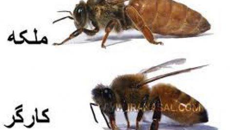 پاورپوینت توليد ملكه زنبور عسل اصلاح شده 41 اسلاید pptx