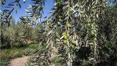 طرح توجیهی احداث باغ زیتون